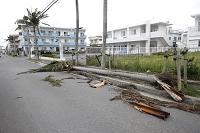 沖縄県 石垣島 台風で倒れたヤシの木