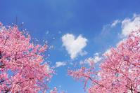 長野県 上田市 桜(サツマベニ)とハート型のわた雲