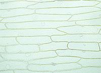 タマネギ 鱗茎の表皮細胞 無染色 倍率50