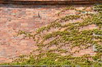 蔦に覆われた旧開拓使函館支庁書籍庫の壁