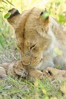 ケニア ライオンの親子