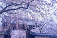 京都府 醍醐寺 桜