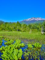 長野県 乗鞍 どじょう池とミツガシワの花