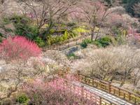 静岡県 熱海梅園