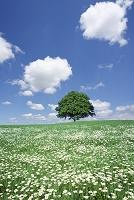 草原に咲く白い花と1本木