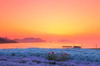 香川県 フラワーパーク浦島のマーガレットの花畑と詫間湾の朝焼け