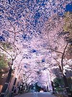 東京都 アークヒルズの夜桜