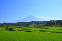 静岡県 芝川 残雪の富士山と青田の田園