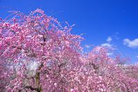 三重県 いなべ市 梅林公園