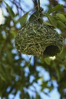 ナミビア エトーシャ国立公園 鳥の巣