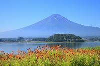 山梨県 大石公園 富士山と河口湖畔のガイラルディアの花