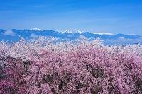 長野県 桜咲く弘法山古墳より北アルプス