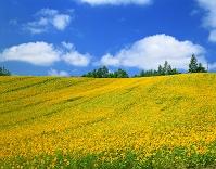 北海道・上富良野町 ヒマワリ畑