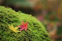 楓の散り紅葉と苔 日本の色