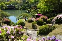 新緑、相楽園のツツジと池泉回遊式庭園