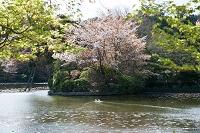京都市 龍安寺 桜散る鏡容池とあひる