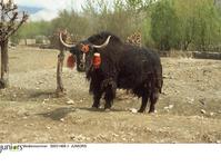 チベット ヤク