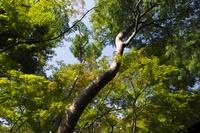 東京都 国分寺市 殿ヶ谷戸庭園の木