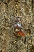 カブトムシの交尾