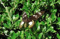 蝶 標本 ゴクラクトリバネチョウ ♀ インドネシア