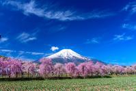 山梨県 花の都公園 枝垂れ桜と富士山
