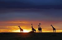 ケニア マサイキリンと夕焼け
