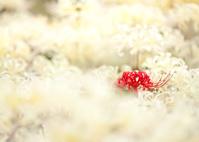 白色を背にした彼岸花