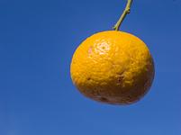 枝先に付いた柚子の実