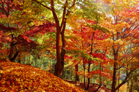 兵庫県 最上山公園もみじ山の紅葉