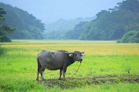 沖縄県 西表島 水牛