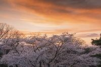 長野県 桜と夕焼け 懐古園(小諸城址)