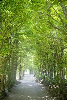 沖縄県 木漏れ日が清々しい備瀬のフクギ並木