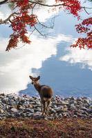 奈良公園の紅葉とシカ