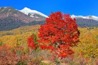 長野県 乗鞍高原 大カエデの紅葉と冠雪の乗鞍岳