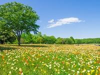 東京都 昭和記念公園のポピー畑