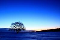 北海道 黎明のハルニレと朝日