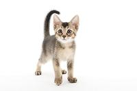 ミックス 立っている子猫