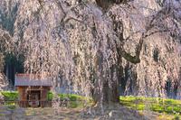 長野県 水中のしだれ桜