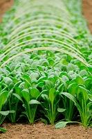 小松菜の露地栽培