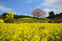 佐賀県 武雄市 馬場の山桜と菜の花