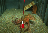 蛸の知能テスト