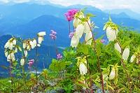 長野県 八方尾根のヤマホタルブクロ