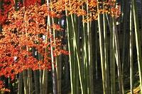 楓の紅葉と竹林
