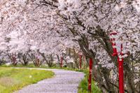 奈良県 宇陀川桜並木