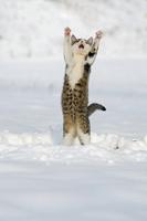 雪の上で飛び跳ねる子猫