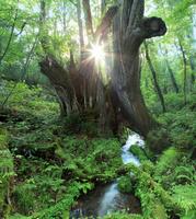兵庫県 香美町 和池の大カツラ 夕日