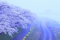 岩手県 北上市 北上展勝地 桜並木と北上川 夕霧