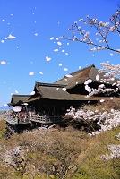 京都府 清水寺 桜咲く舞台