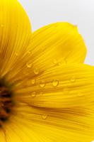 ヒメヒマワリ 花びら