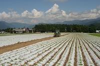 長野県 野辺山 レタス畑